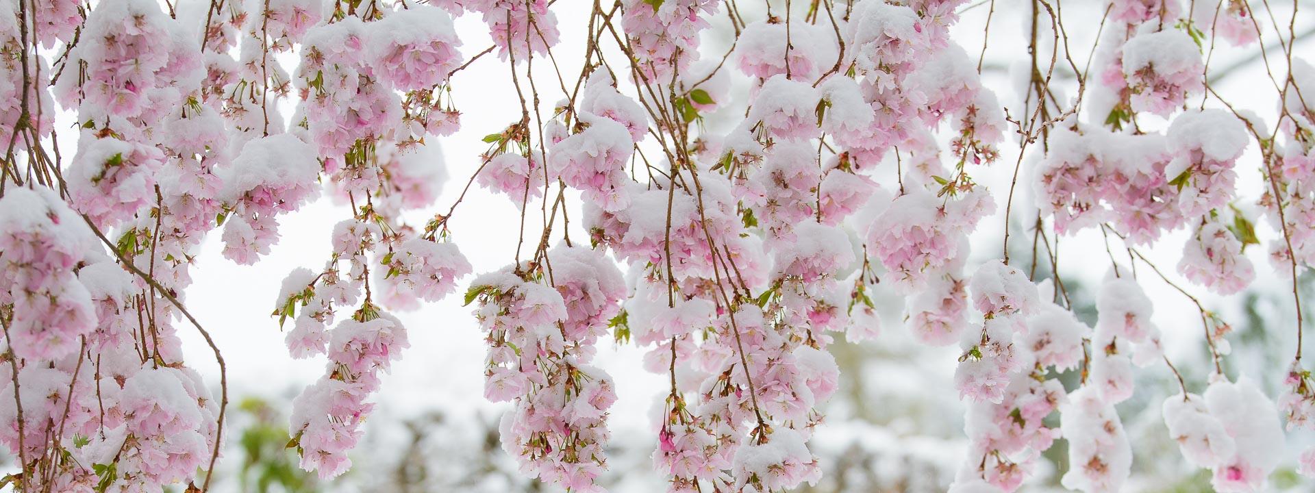 Schneebedeckte Blüten einer Zierkirsche
